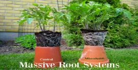 Massive Root Systems